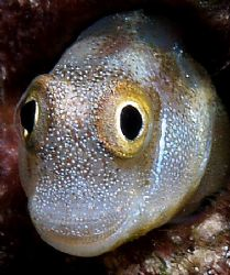 Full face portrait of blenny E300 and 50mm lens taken at ... by Nikki Van Veelen 